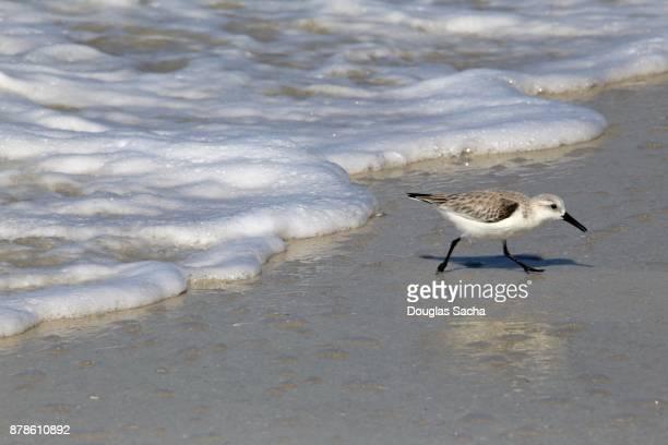 Tropical Sanderling bird scavenging for food on the beach (calidris alba)