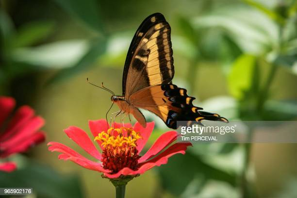 Tropical Swallowtail Butterfly Vinales