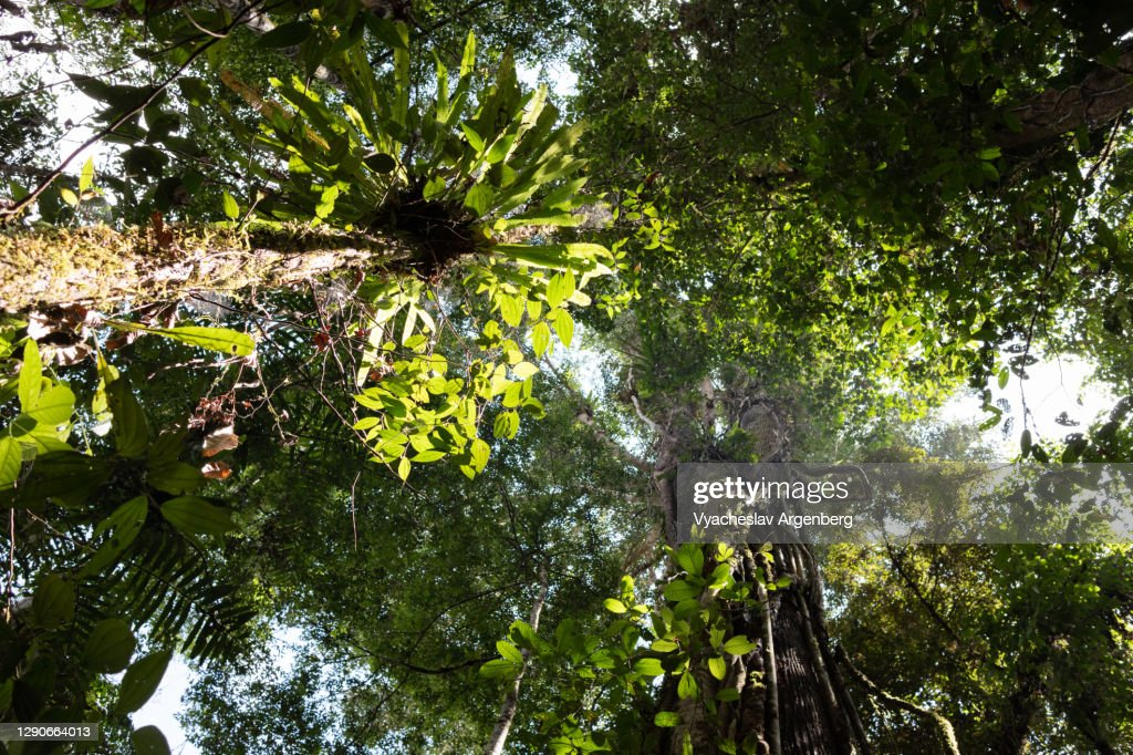 Tropical trees in Borneo rainforest, Malaysia : Stock Photo
