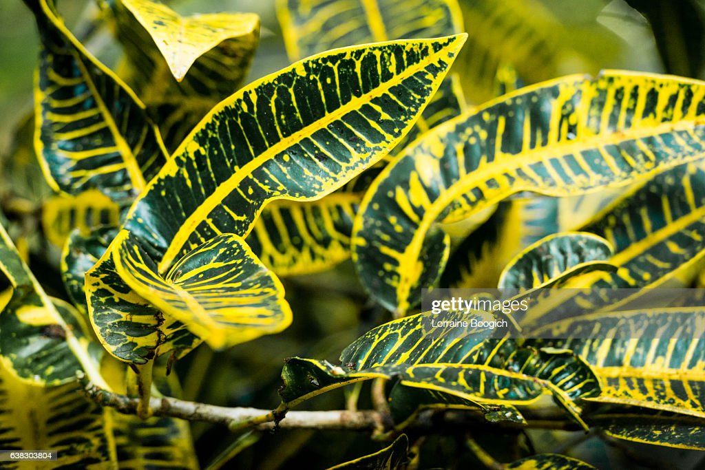 Tropical Yellow Veined Leaves Of Croton Plant In Hawaii Rainforest High Res Stock Photo Getty Images High quality tropical plant palm leaves artificial plam. getty images