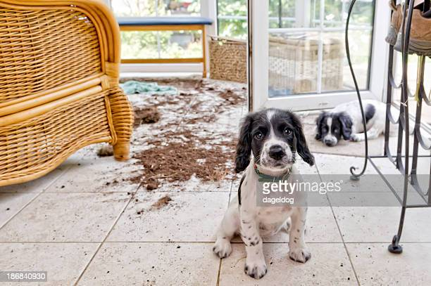 trouble and strife - cocker spaniel stock photos and pictures