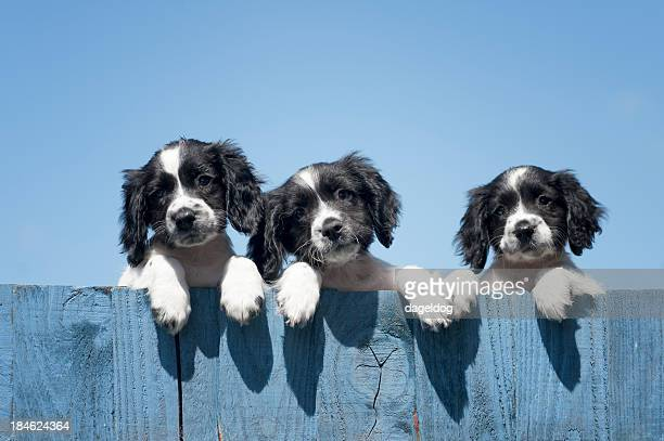 trouble comes in threes - springer spaniel stock pictures, royalty-free photos & images