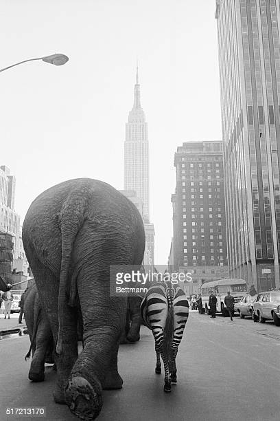 Troupe of elephants and a zebra walk down 33rd Street in Manhattan, hearlding the arrival of Ringling Brothers and Barnum & Bailey Circus.
