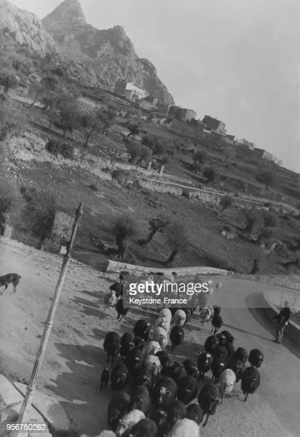 Troupeau de moutons sur la route de montagne à Lumio Corse France en mars 1935