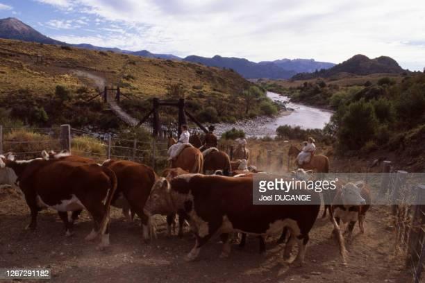 Troupeau de vaches dans la région de Bariloche, le 8 avril 1987, Argentine.