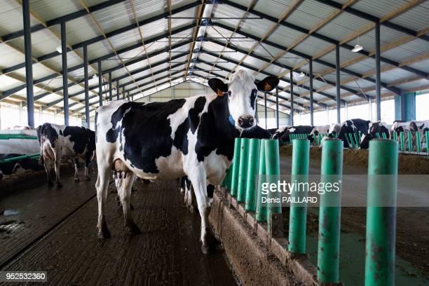 Troupeau de vaches dans l'aire d'attente de la salle de traite de la ferme industrielle des 1000 vaches le 10 juin 2015 à Buigny-Saint-Maclou, Somme,...