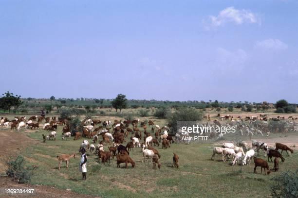 Troupeau de vaches dans un pré après la saison des pluies, dans la région de Zinder, en octobre 1983, Niger.