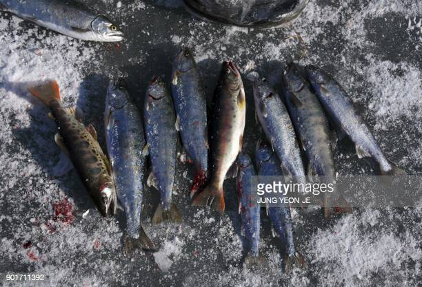 Trout caught by anglers are seen on the surface of a frozen river during the annual ice fishing festival in Hwacheon some 120 kilometers northeast of...