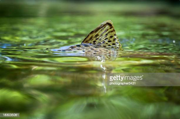 trout fin - brown trout stock pictures, royalty-free photos & images