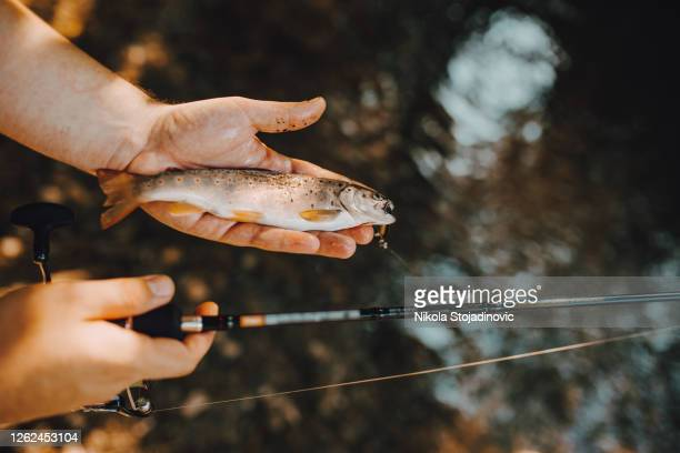 trout fish on the shallow water - brown trout stock pictures, royalty-free photos & images