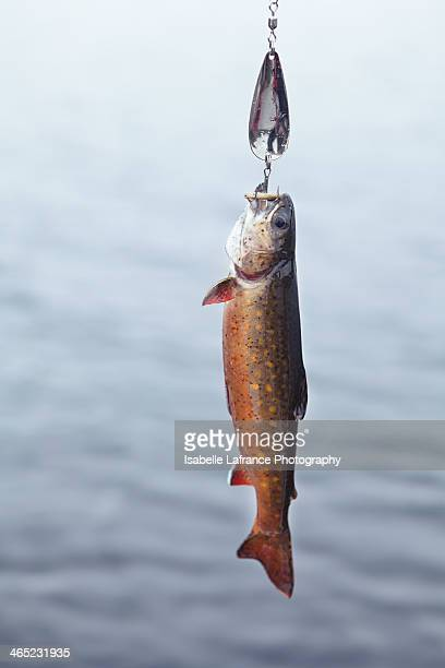 Trout hooked on lure
