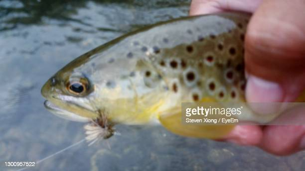 trout on a fly - brown trout stock pictures, royalty-free photos & images