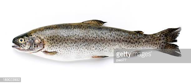 Trout on white background find laid flat not out