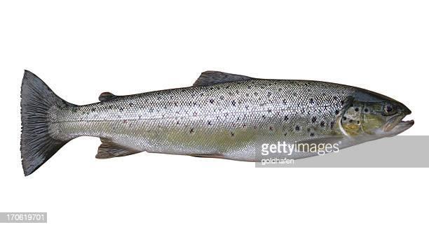 Forellen, ganzer Fisch, isoliert auf weiss