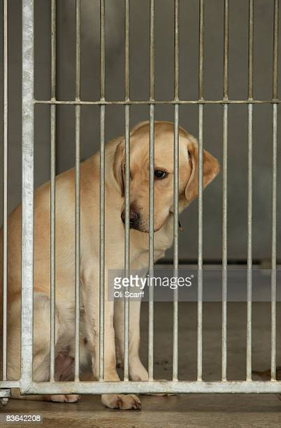 Troy the Yellow Labrador waits for a new owner in a dogs home in London on November 10 2008 In increasingly difficult economic times dogs homes are...