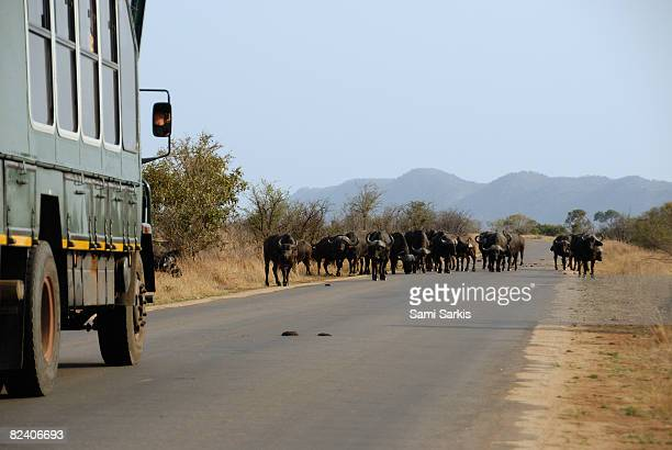 Truck stopped by herd of African buffalo in road