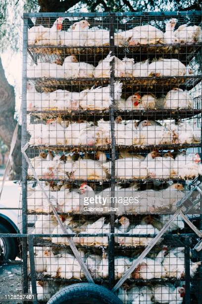 Truck Transporting Chicken In A Cage
