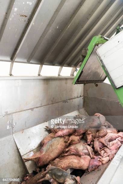 Truck unloading pig carcases on a treatment plant