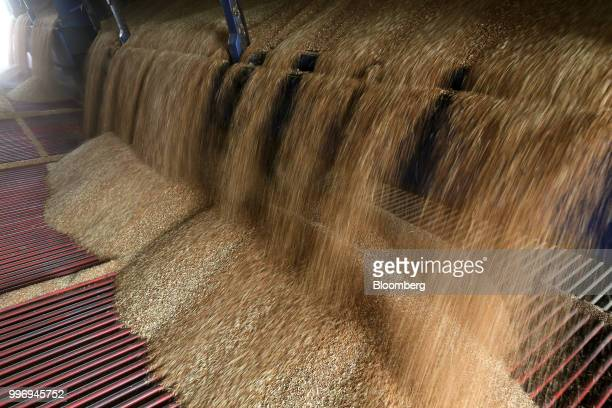 A truck unloads wheat grain during the summer wheat harvest on a farm operated by Ros Agro Plc in Kazinka village outside Belgorod Russia on...