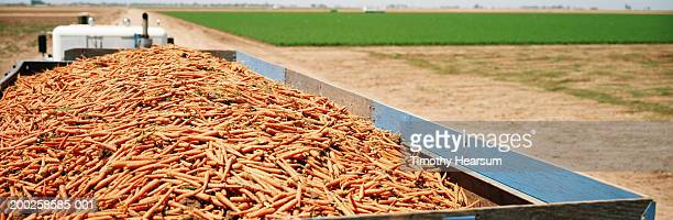 truckload of harvested carrots, green unharvested field in background - timothy hearsum ストックフォトと画像
