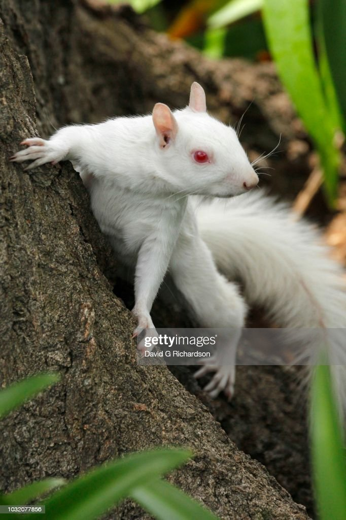 A true albino squirrel photographed climbing a tree in Companies Garden in Cape Town, Western Cape Province, South Africa. : Stock Photo