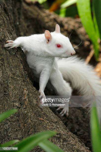 A true albino squirrel photographed climbing a tree in Companies Garden in Cape Town, Western Cape Province, South Africa.