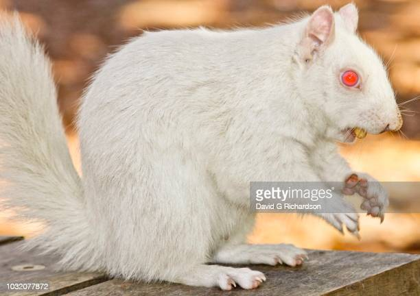 A true albino squirrel photographed eating a nut in Companies Garden in Cape Town, Western Cape Province, South Africa.