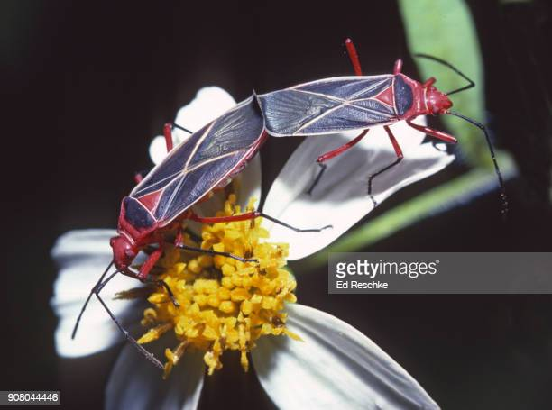 cotton stainer bugs mating (dysdercus suturellus) true bugs that can damage cotton bolls. - ed reschke photography stock photos and pictures