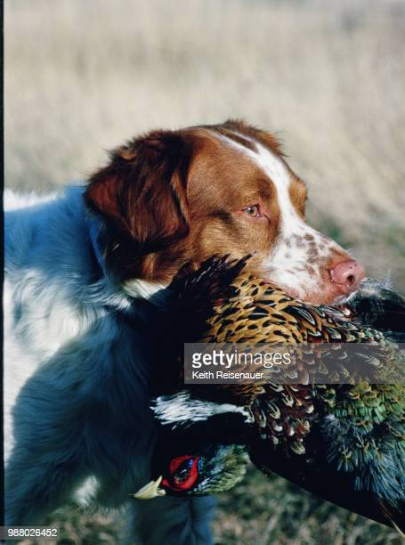 a true hunter - brittany spaniel stock pictures, royalty-free photos & images