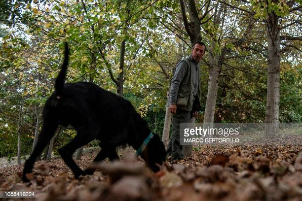 Truffle hunter Giovanni Monchiero searches for truffles with the dog Rocky in the woods in Roddi northwestern Italy on October 24 2018 Giovanni...