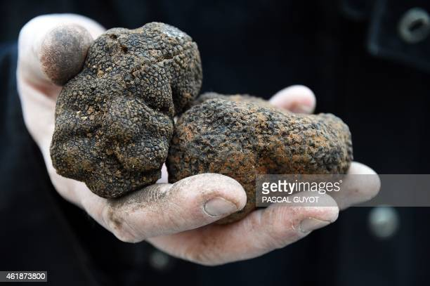A truffle hunter holds black truffles during the truffle market of Uzes southern France on January 18 2015 The truffle market in Uzes is held...