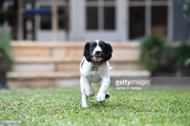 Truffle the two month old English Springer Spaniel puppy plays at its new home on July 18, 2020 in Sydney, Australia. Since the beginning of the...