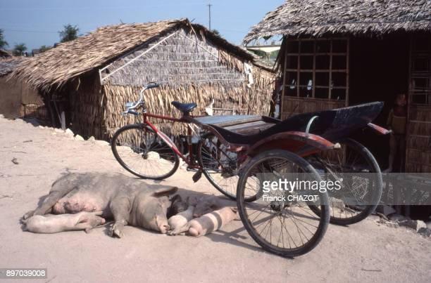 Truie allaitant ses petits a l'ombre d'un cyclopousse a Long Xuyen Viet Nam
