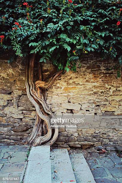 Trumpet vine tree growing against old stone wall