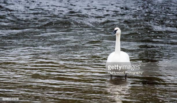 trumpeter swan in yellowstone - highlywood - fotografias e filmes do acervo