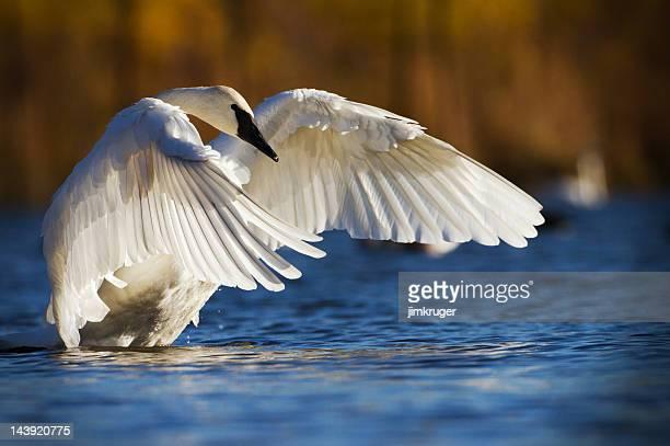 Trompeterschwan, Nordamerikas größte Wasservögel.