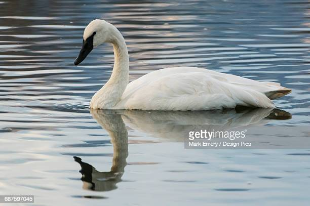 trumpeter swan (cygnus buccinator) on the water - emery stock photos and pictures