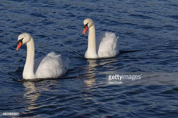 Trumpeter Swans, Esquimalt Lagoon