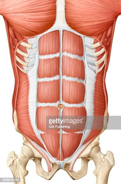 Trunk Muscle Anterior View Stock Photos and Pictures | Getty Images