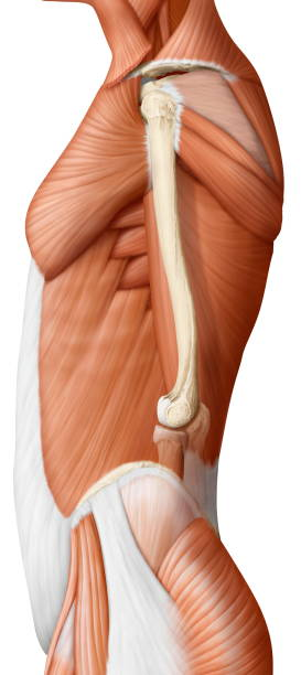 Trunk muscle lateral view Pictures | Getty Images