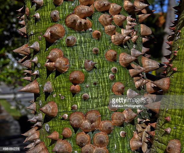 trunk of a chorisia speciosa tree - tree with thorns on trunk stock photos and pictures