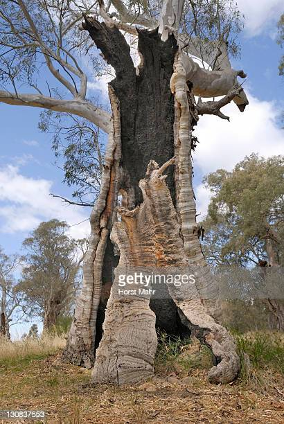 trunk of an eucalyptus tree gutted by fire near melrose, south australia, australia - gum disease stock photos and pictures