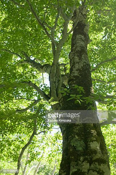 a trunk of beech - kazuko kimizuka stock pictures, royalty-free photos & images