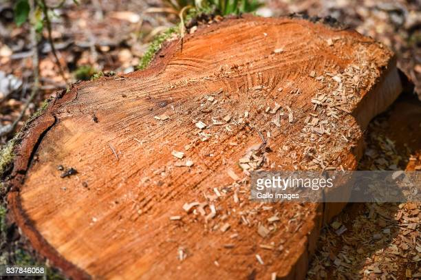 Trunk of freshly cut tree seen on August 09 2017 near Bialowieza Poland The Bialowieza National Park is best known for the protection of the...