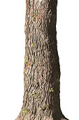 Trunk of old poplar