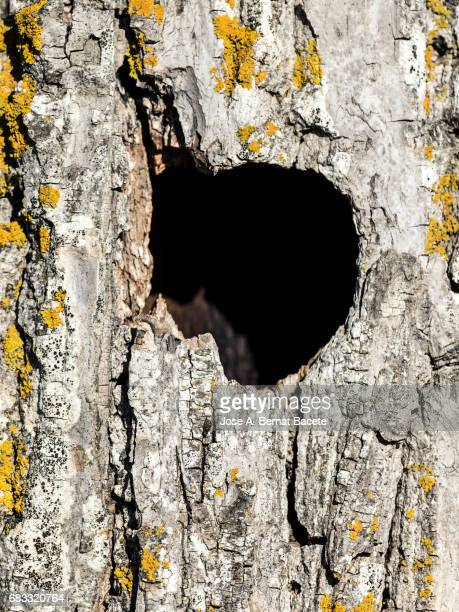 Trunk of tree (walnut) with a hole of nest of bird