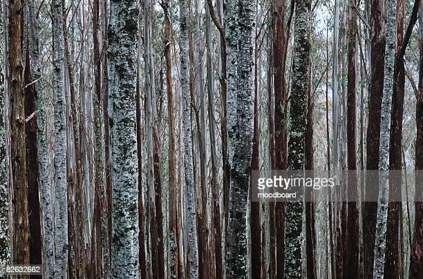 trunks of eucalypt mountain ash trees - ash tree bildbanksfoton och bilder