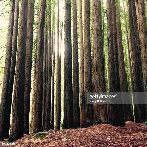 Trunks of Sequoia trees