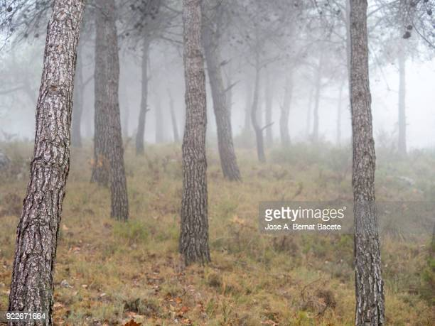 Trunks of tree of pine in a covered forest of fog. Alcoy, Valencian Community, Spain.
