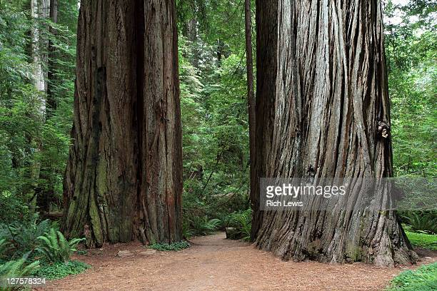Trunks of two redwood trees